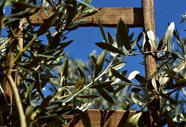 A Torralba un incontro pratico sulla potatura e innesto degli olivi